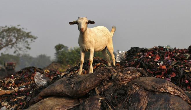 Nigerian goat sex