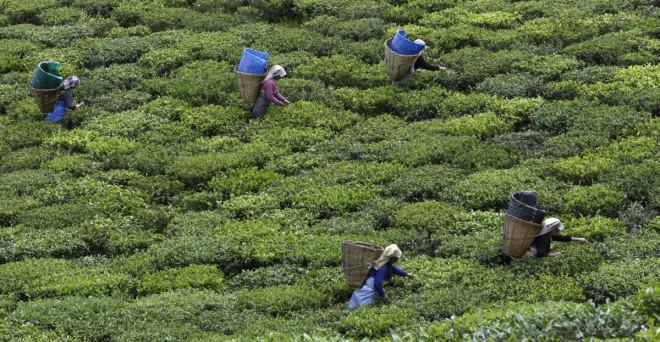 Tea plantation in india's Himalayan mountains.