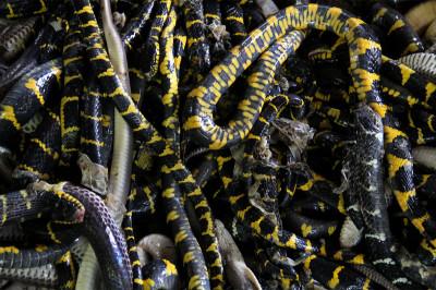 dead snakes