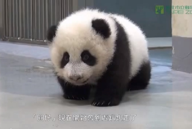 Taiwan Go To Bed Baby Panda Video