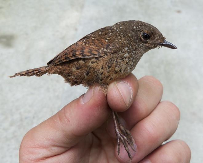 Elachura bird species