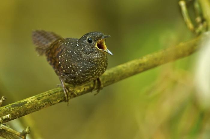 Elachura singing