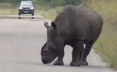 rhino horn cut off