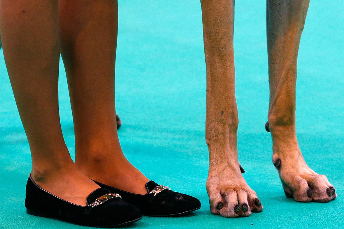 great dane legs