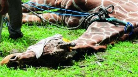 Ailing giraffe at Surabaya zoo