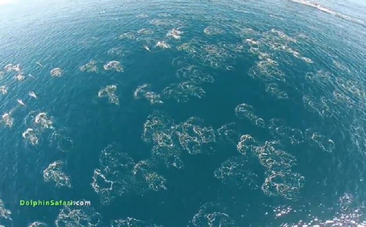 dolphin mega-pod