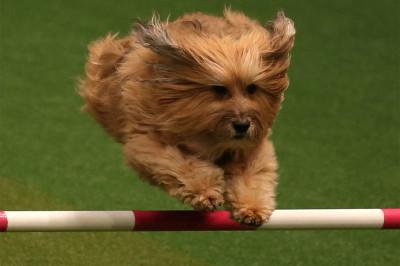 crufts agility