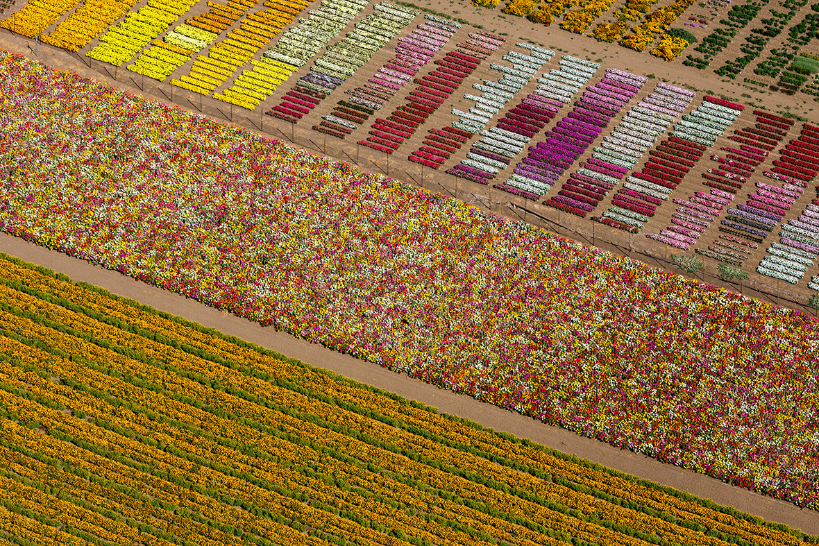 Flower Fields, Lompoc, CA 2013