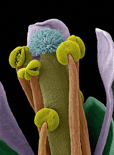 Arabidopsis thaliana flower, SEM