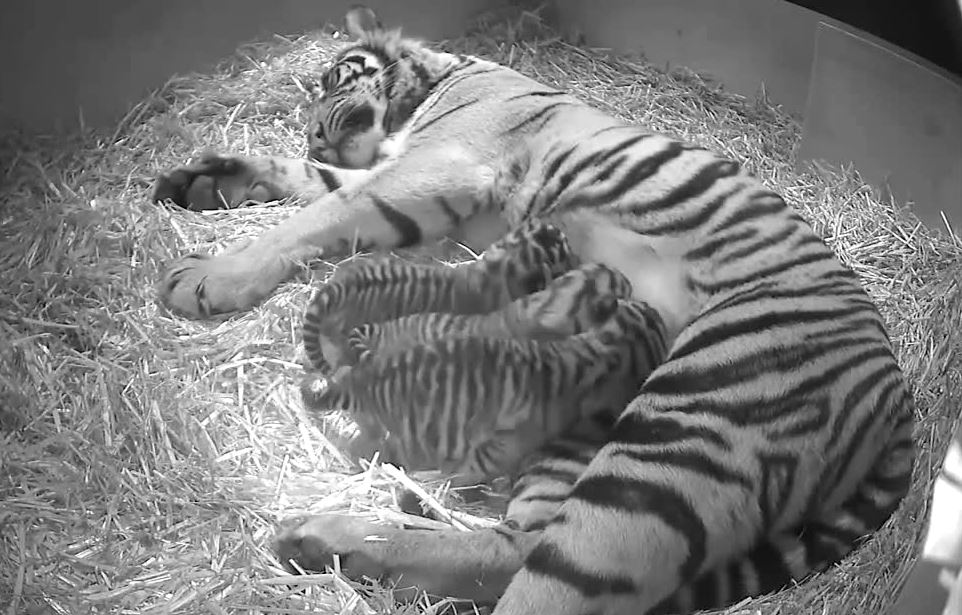 Three Sumatran Tiger Cubs Born at London Zoo - Hidden Camera Footage