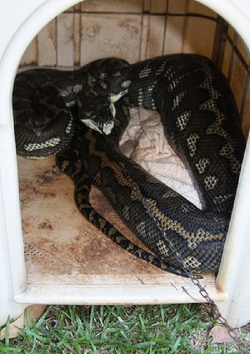 Australia Python Gets Stuck After Eating Pet Dog Chained