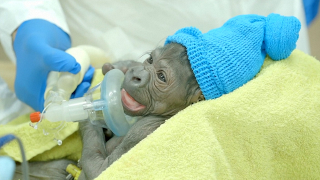 Baby Gorilla is Born via Rare Emergency C-Section