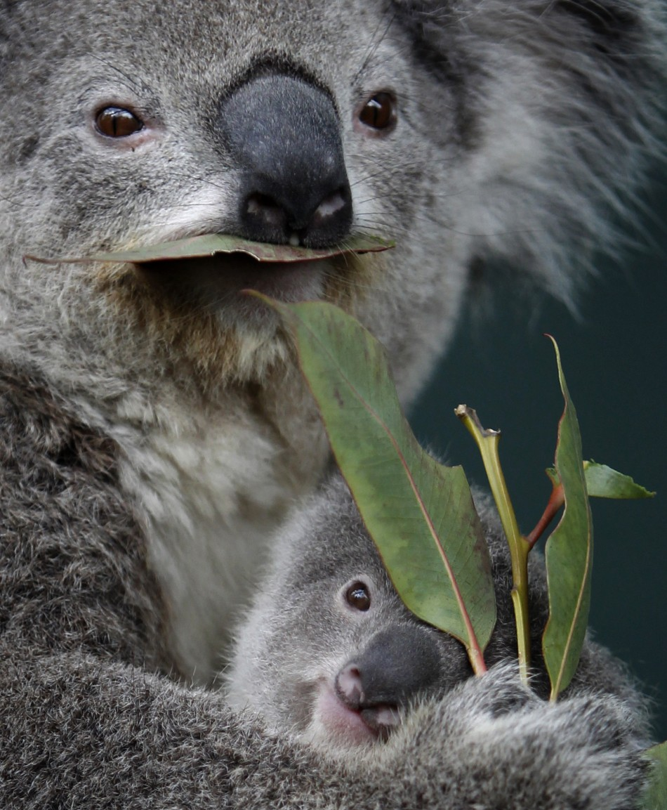 Eucalpytus, not just for koalas