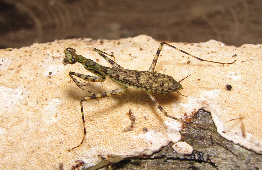 Praying Mantis species discovered