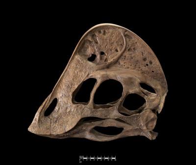 Anzu Wyliei skull