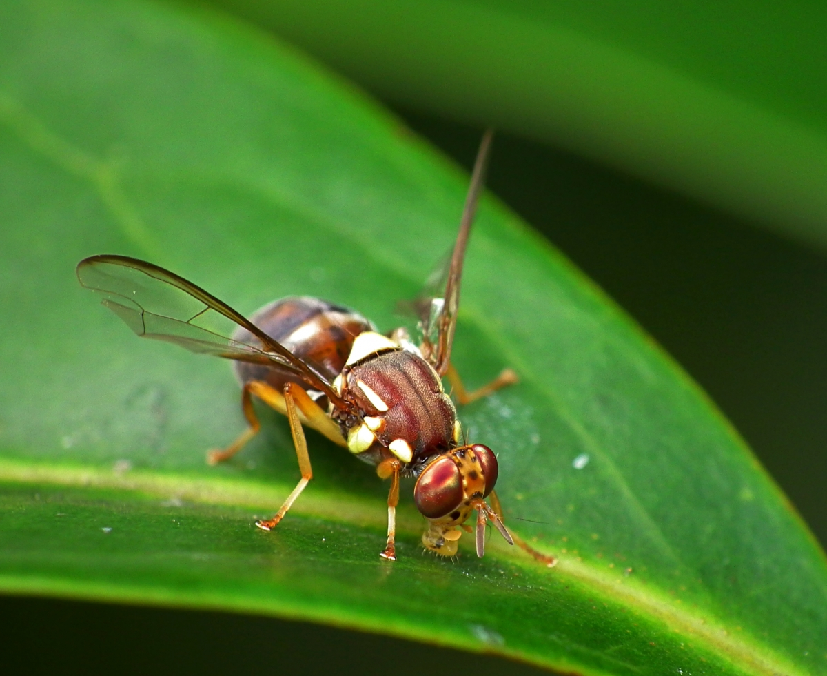 Australia: Sex-changed Male-only Flies to Fight Pests