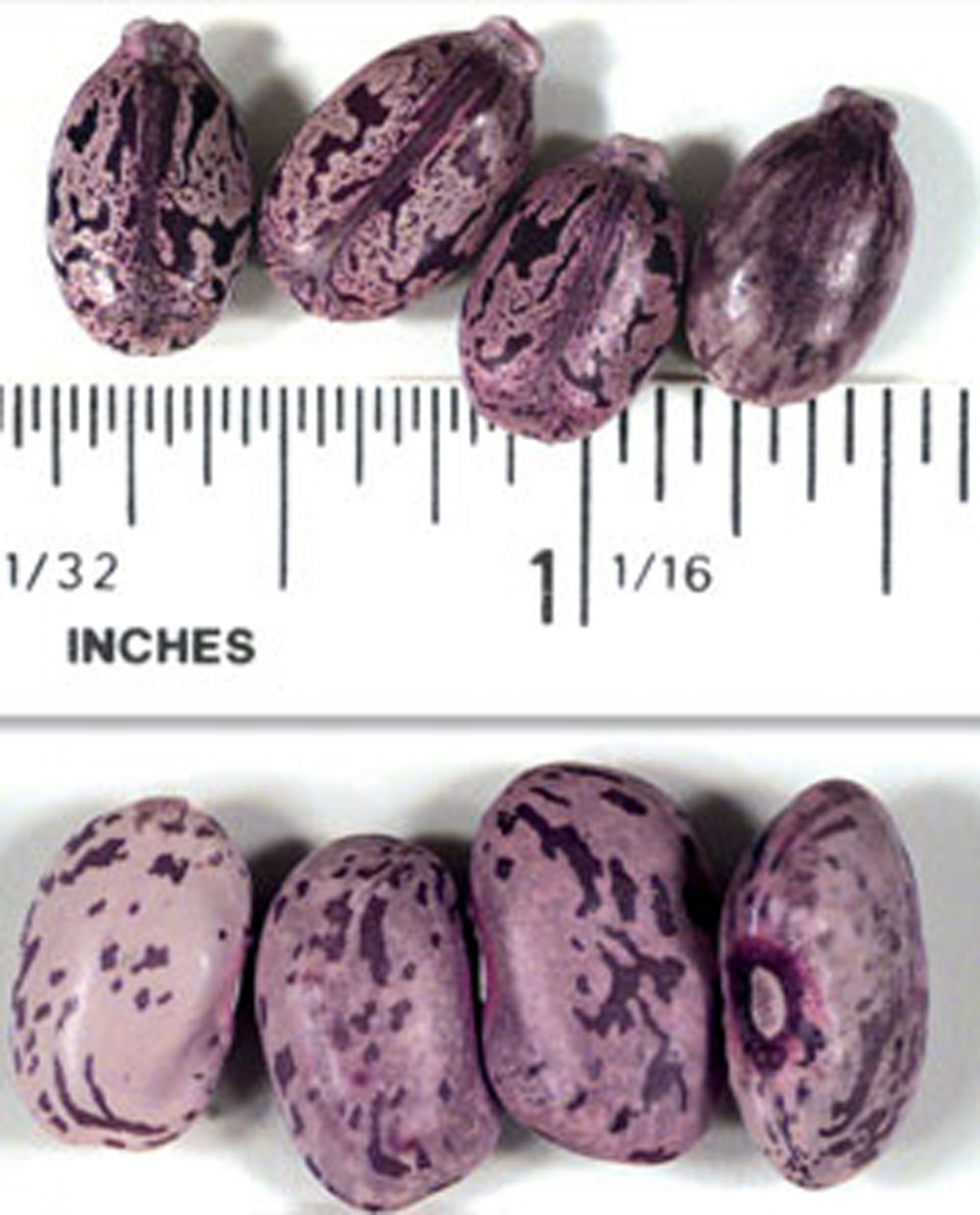 Castor beans, used in the production of ricin.