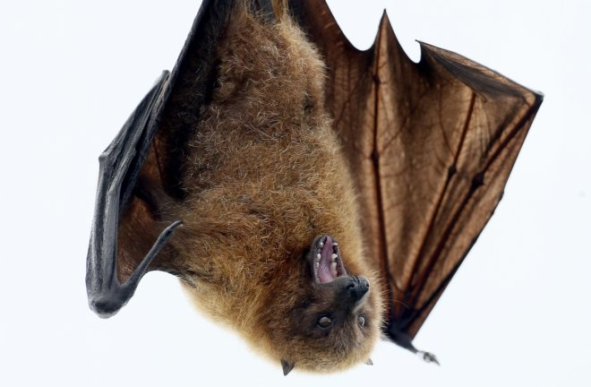 Guinea Ebola Bat Disease West Africa