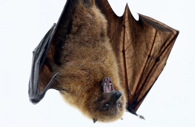 Guinea Ebola Bat Disease West Africa