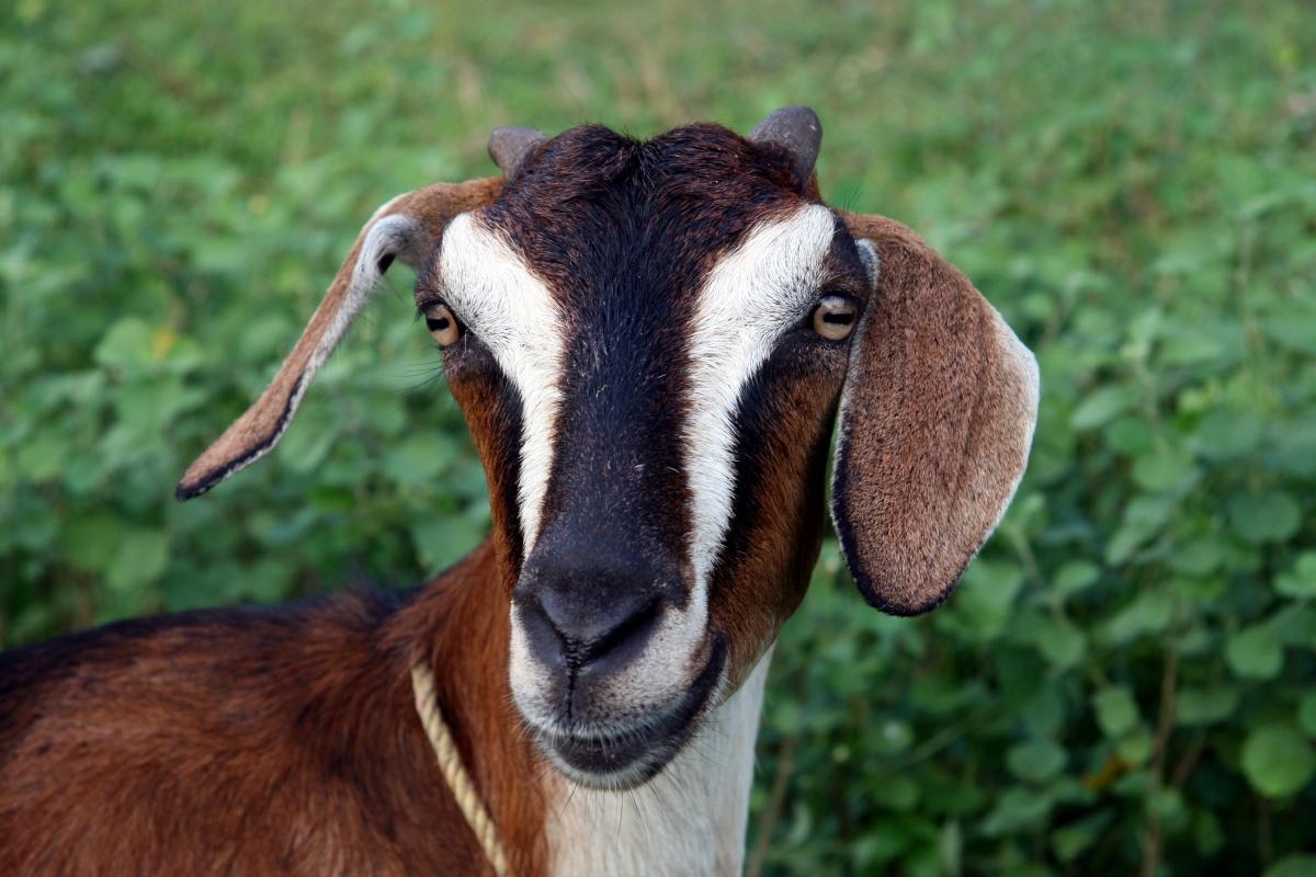 goat - photo #27