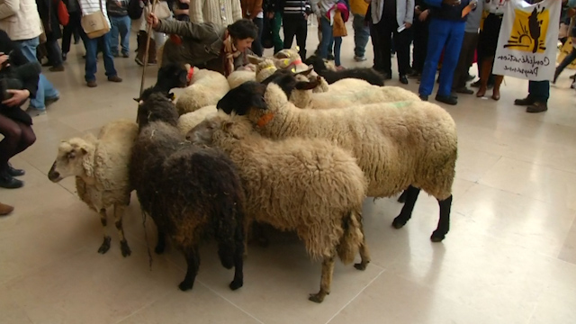 Sheep Storm Paris' Louvre in Farmers Protest