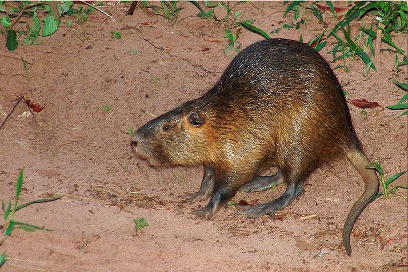 Coypu could cause chaos in the town of Halle, central Germany, after taking over there