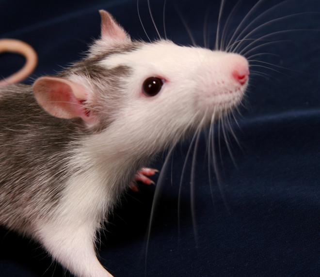 Rats didn't spread the Black Death as it was a pneumonic plague spread through the air