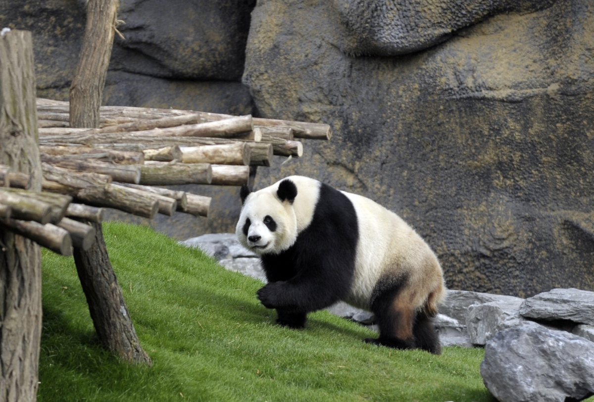 China President Xi Jinping Uses Pandas to Soften EU Free Trade Deal