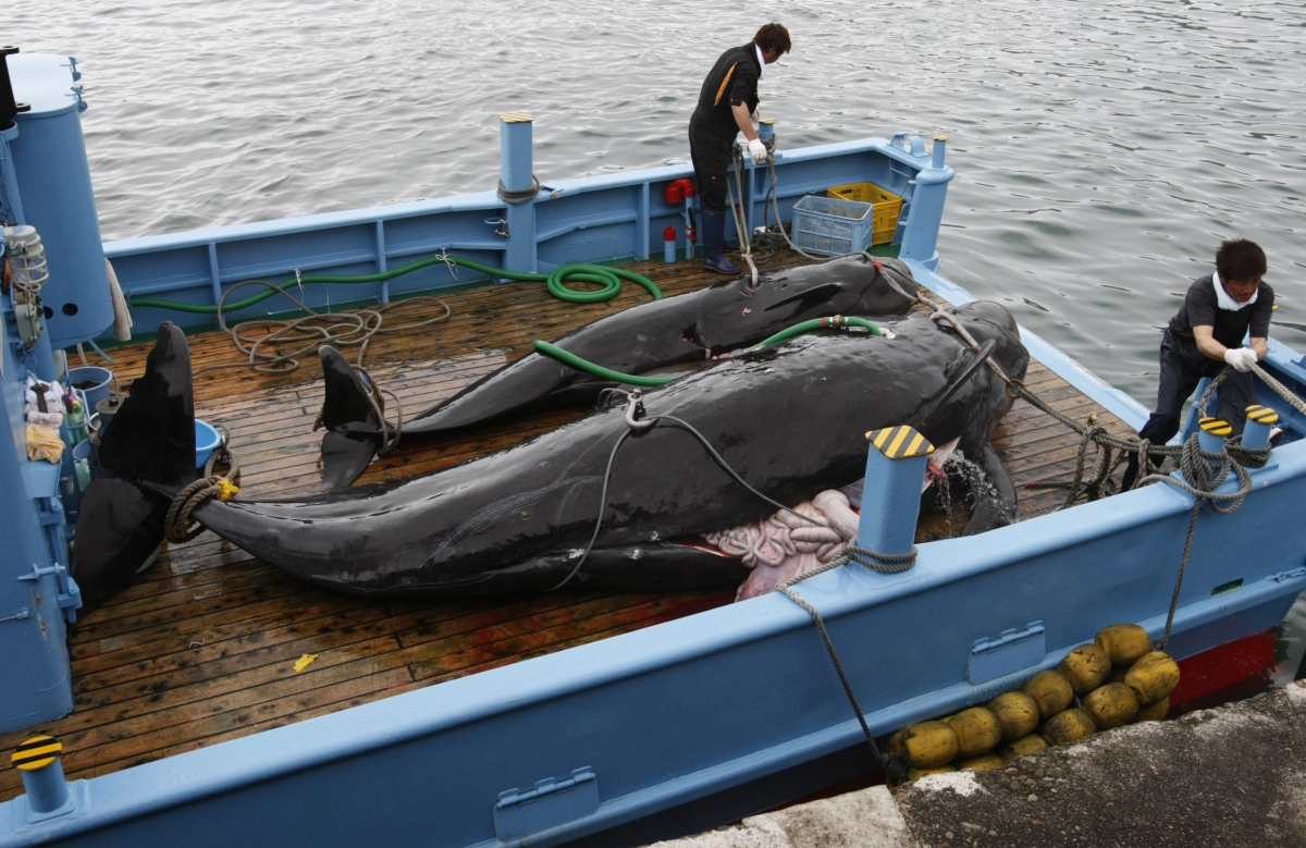ICJ Orders Japan to Halt Antarctic Whaling Program Jarpa II