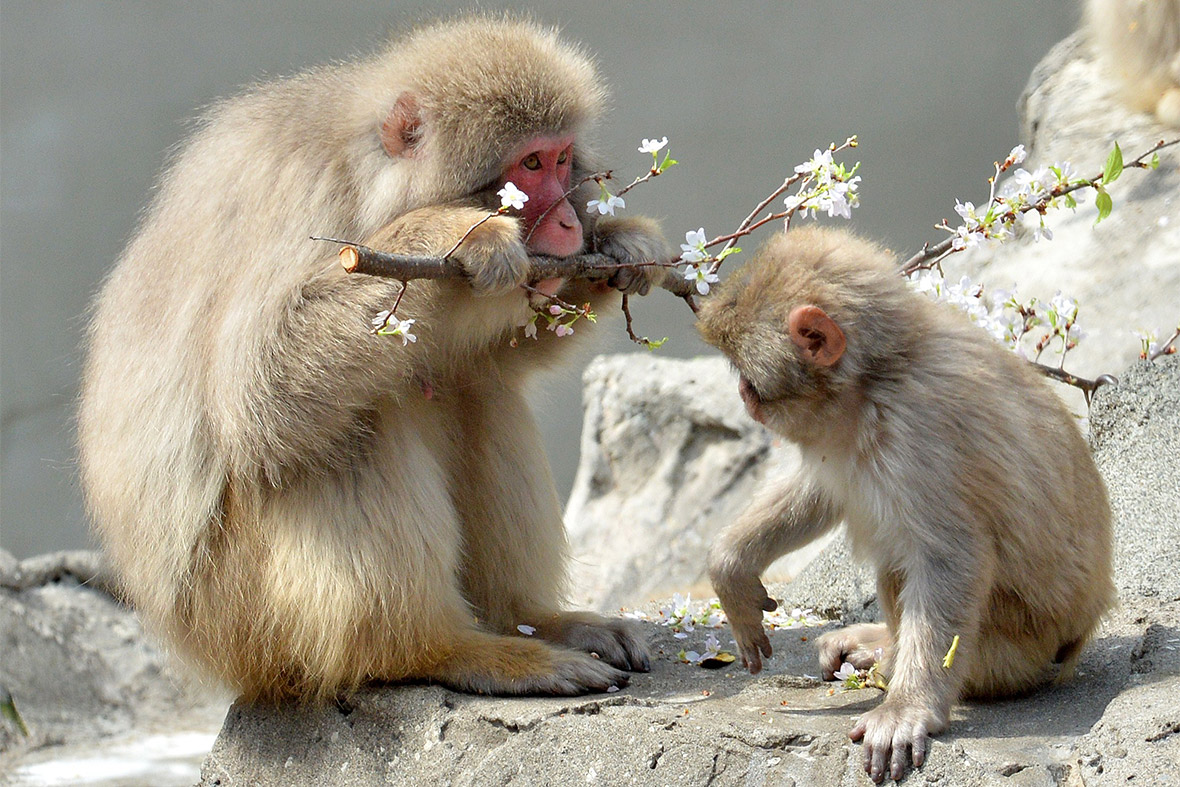 cherry blossom monkeys