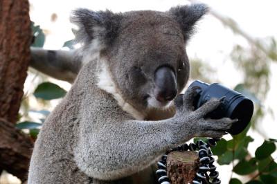 koala new
