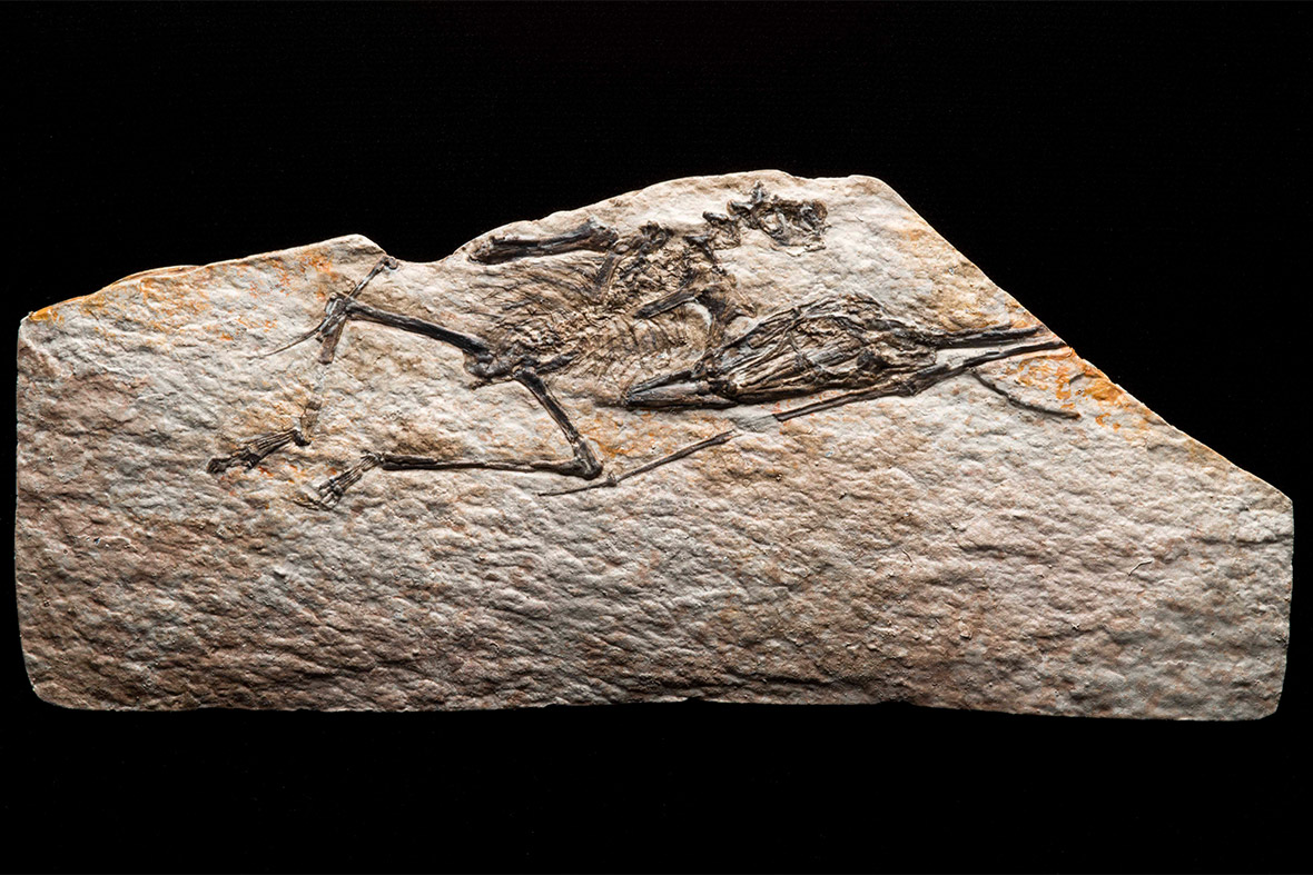 fossil of Nemicolopterus crypticus