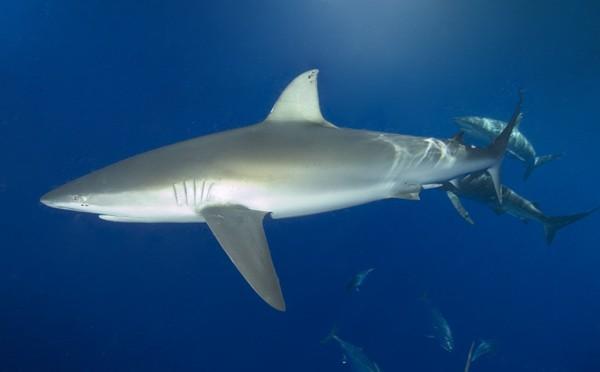 Sharks Fin