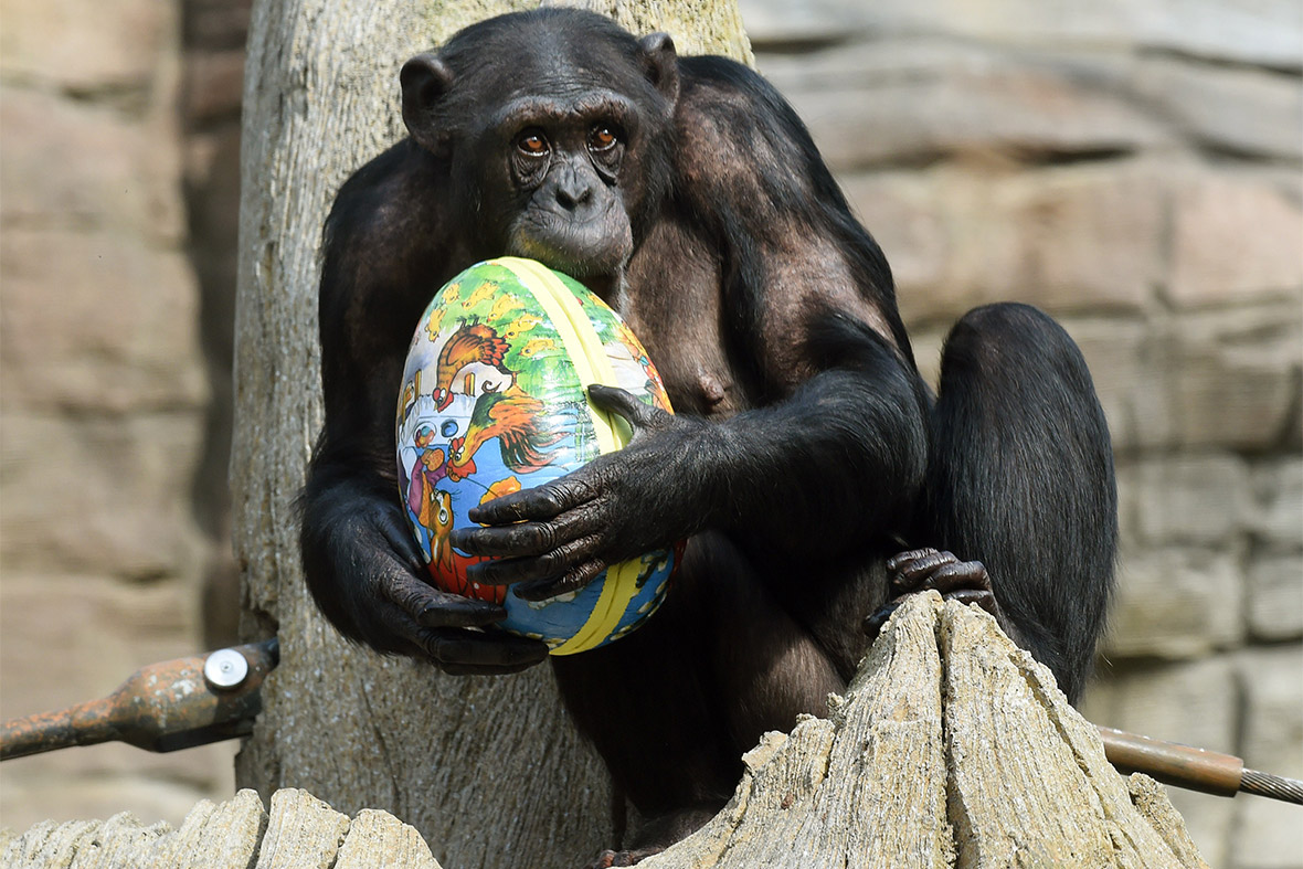 easter chimp