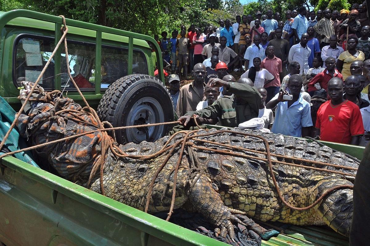 An enormous man-eating crocodile was captured in Uganda.