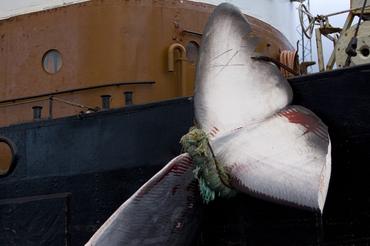 Iceland Whaling Whales Animal Rights Hunt