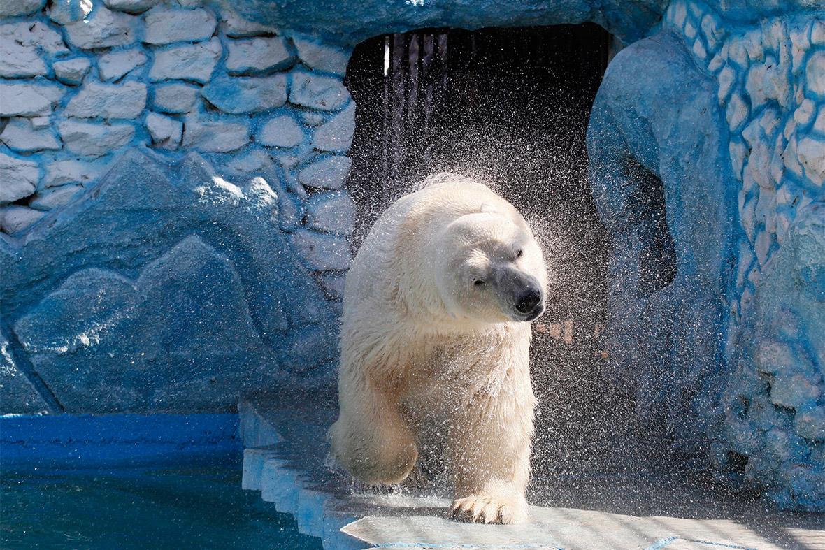 polar bear shake