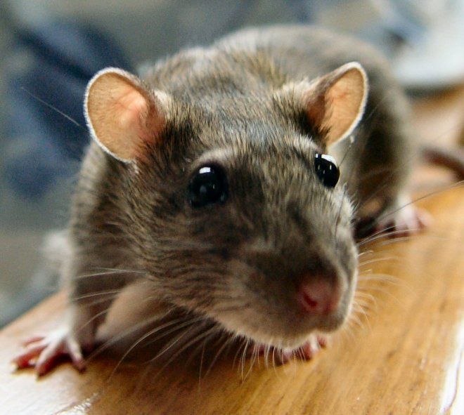 Leptospirosis is a type of bacterial infection that is spread by rats, rodents and other animals