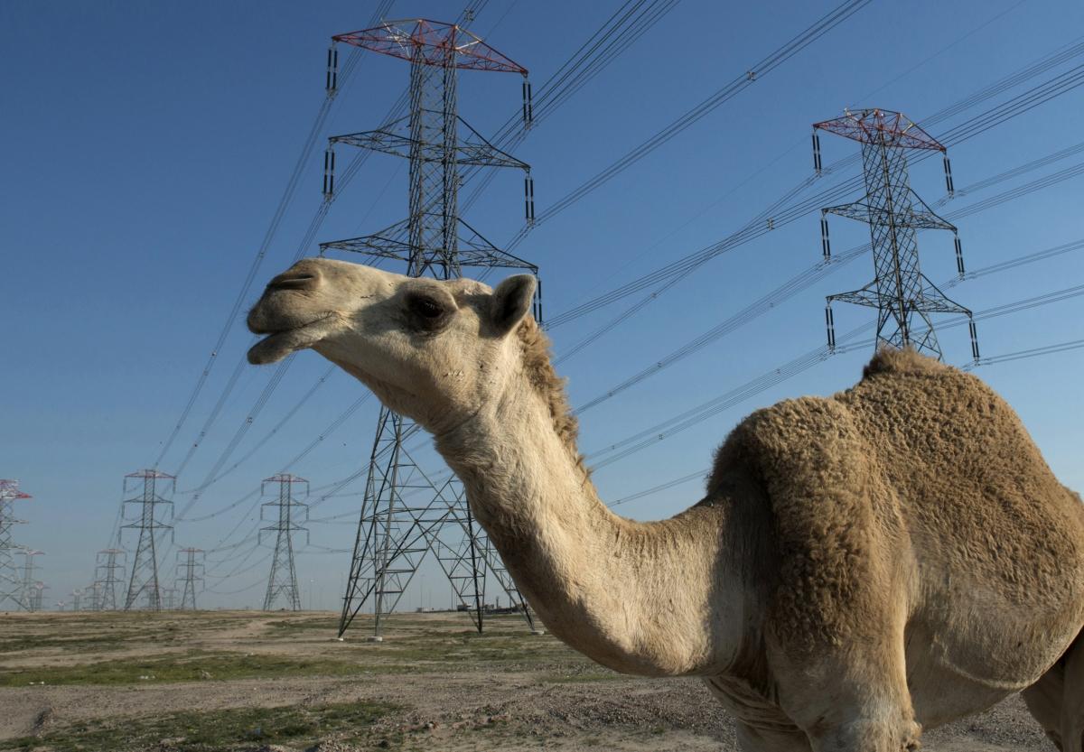 Camel wanders through Kuwait power grids