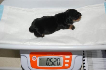 Mini Winne - Britain's first cloned dog