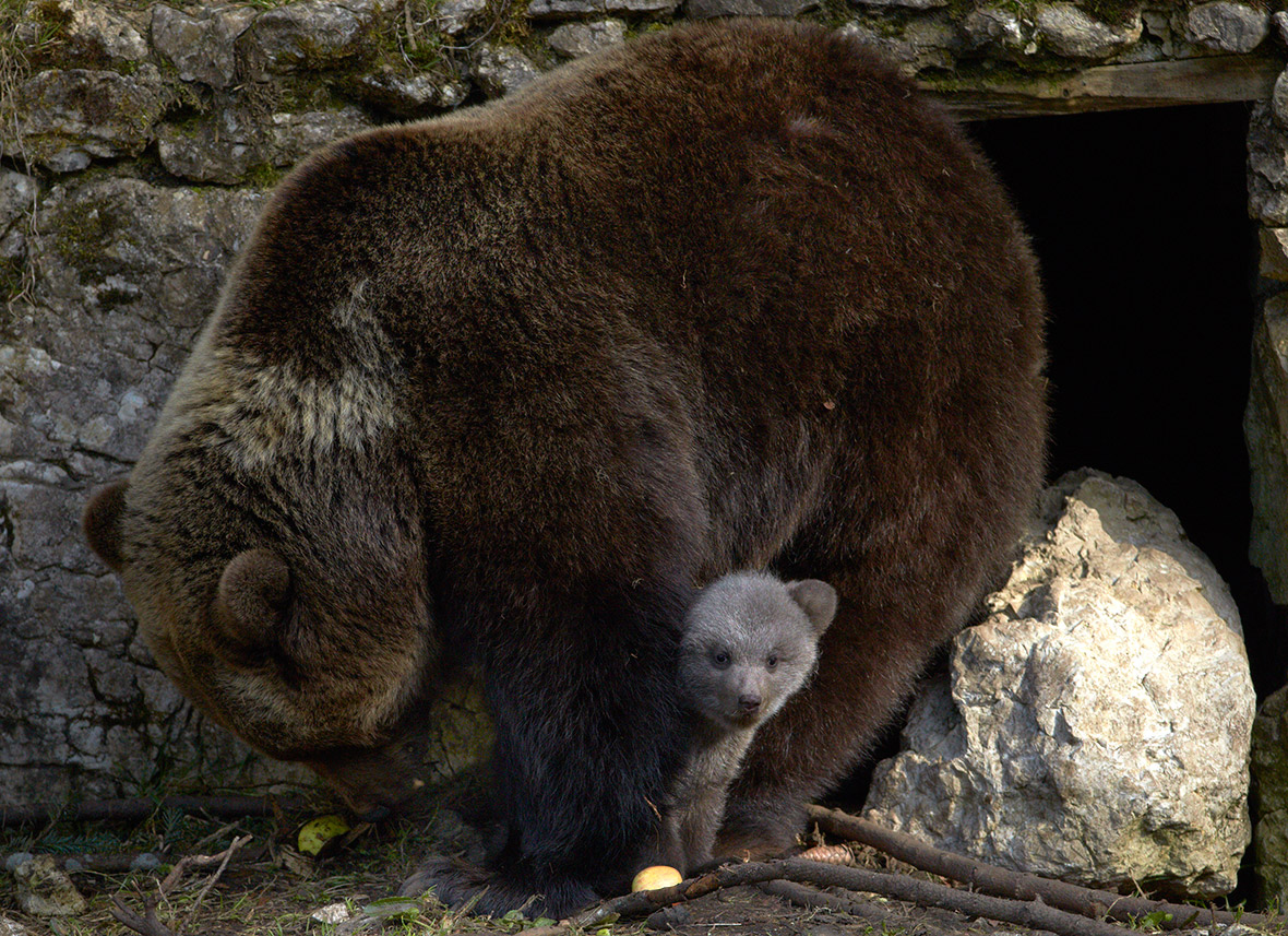 A female bear and its three cubs were slaughtered in Sweden after nearly killing an elderly man.