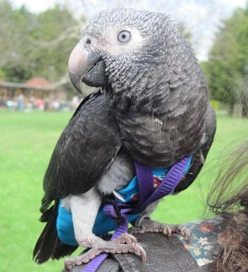 Hero Parrot Wunsy