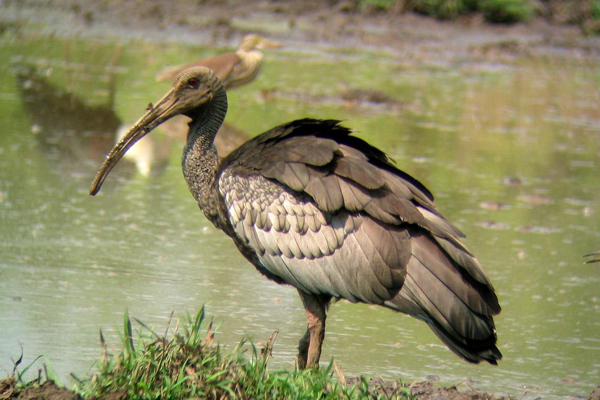 1 Giant ibis