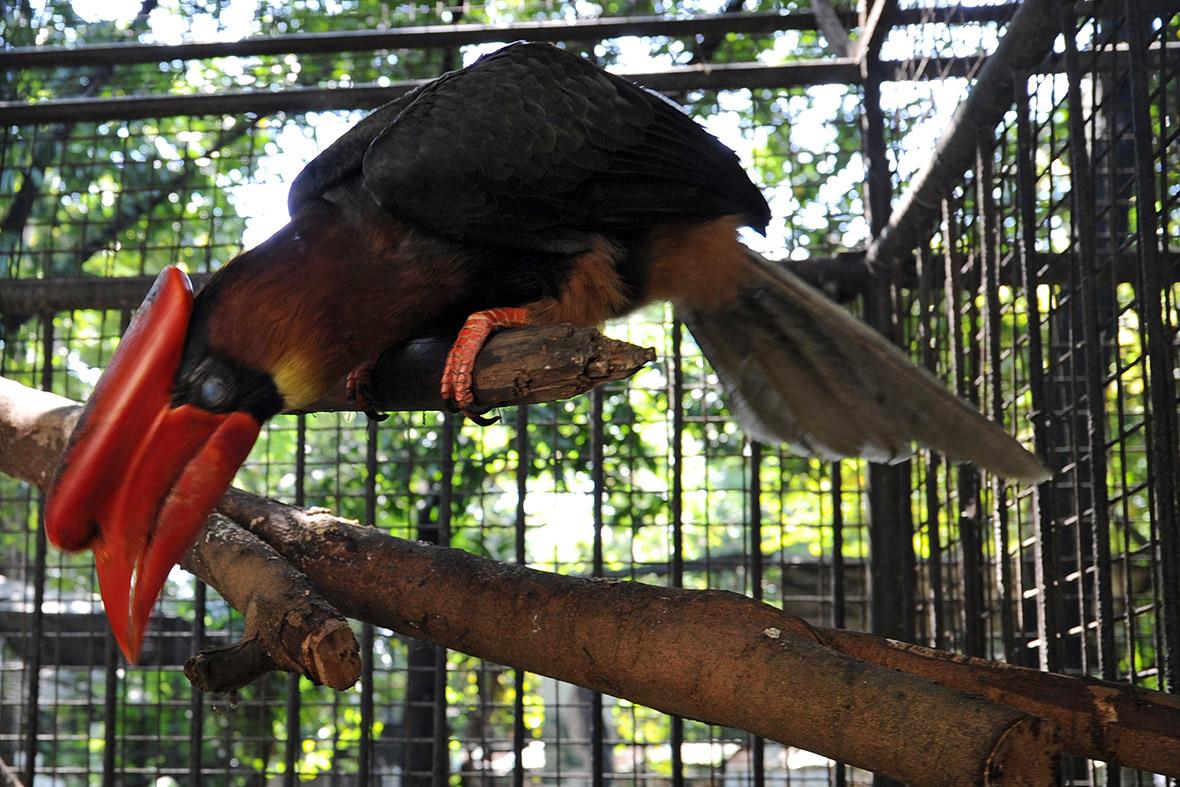 44. Rufous-headed Hornbill (Aceros waldeni)