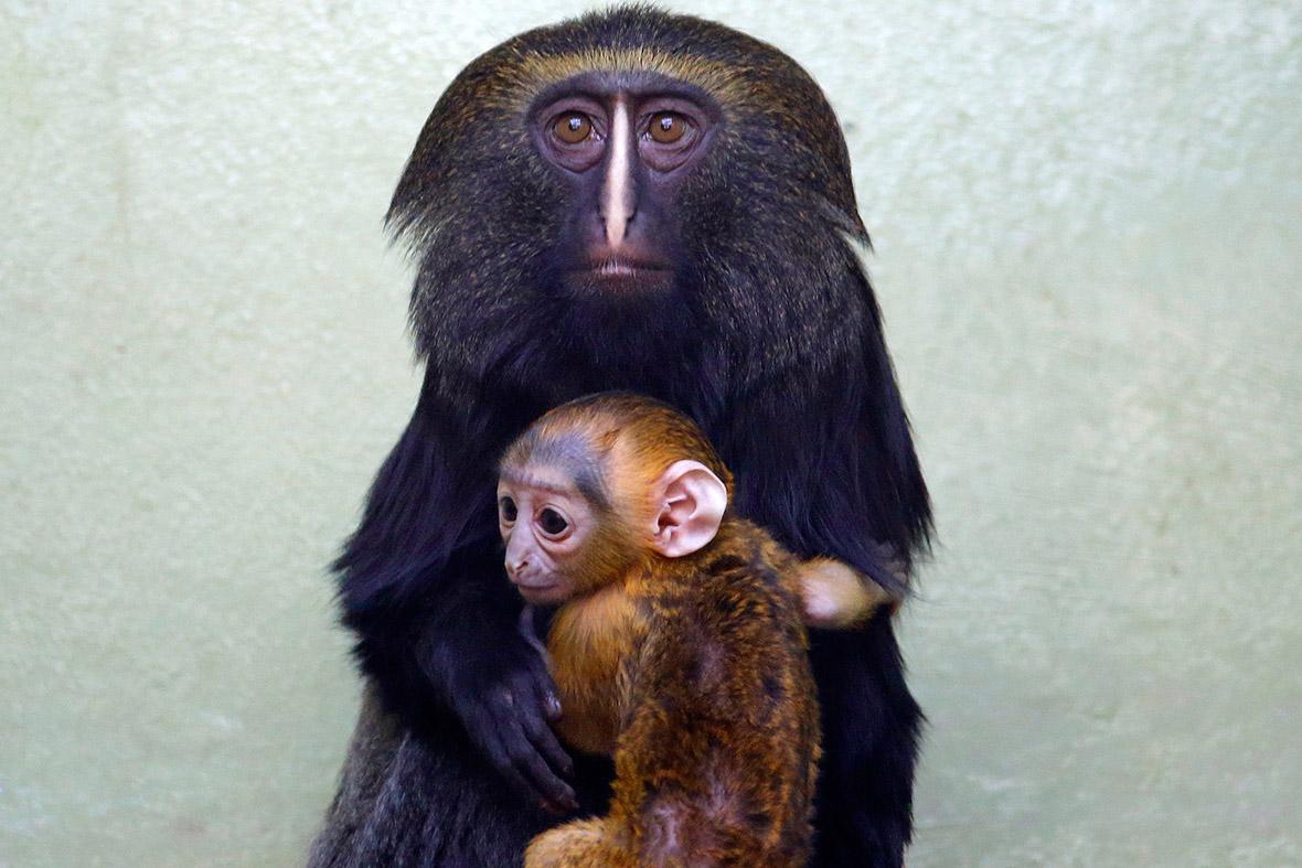 owl faced monkey