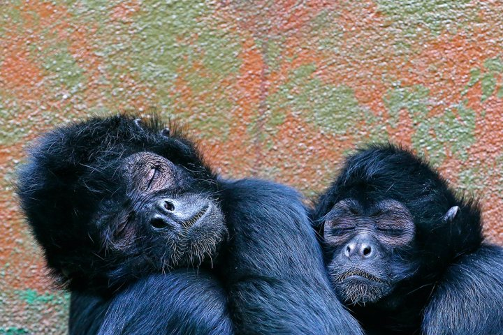 monkeys sleeping