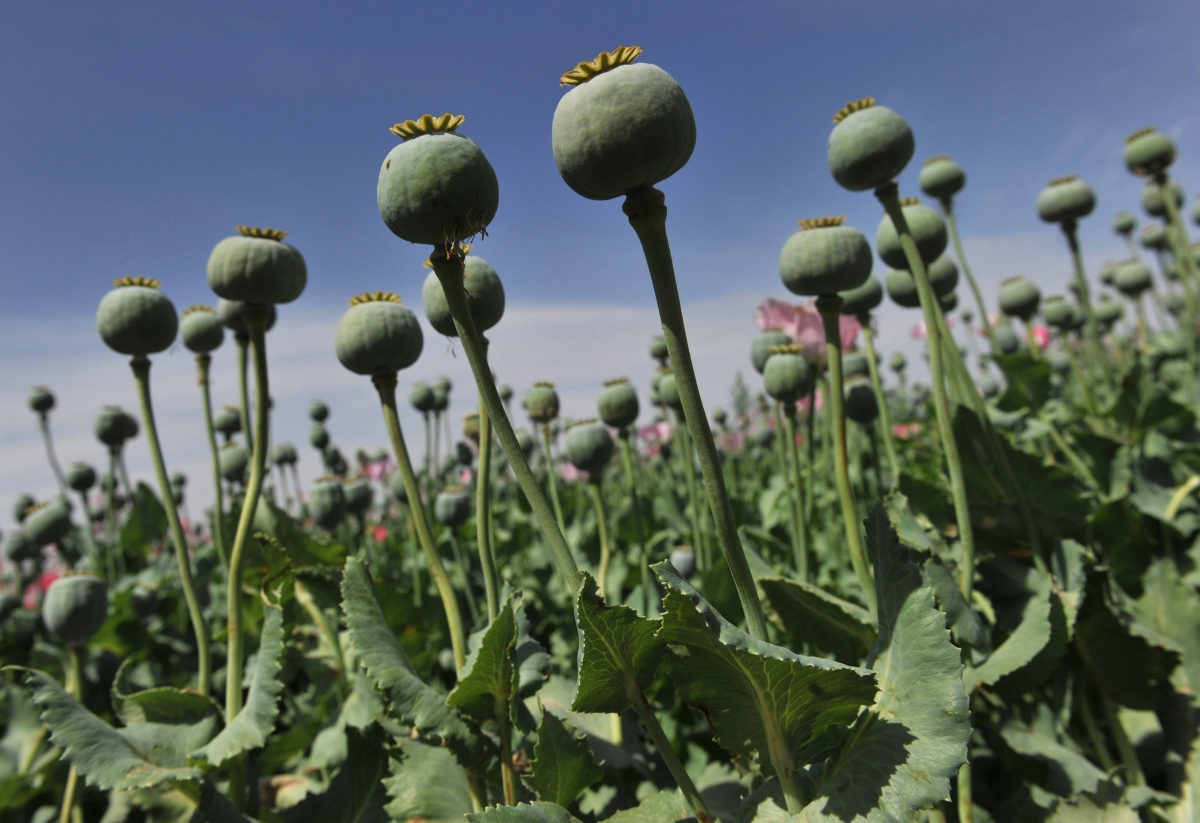 Cultivation of the opium poppy has increased since Egypt's tourism trade has dipped dramatically