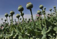Cultivation of the opium poppy has increased since Egypt\'s tourism trade has dipped dramatically