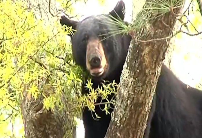 Bear Shot Out of Tree with Tranquiliser Gun