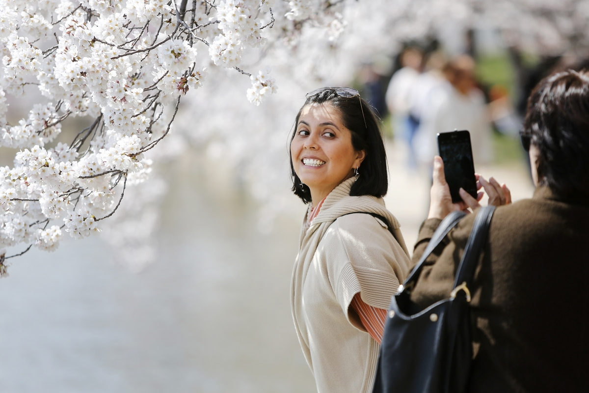 Darlene Yarrington of Fredericksburg, Virginia, has her picture taken with the famed cherry blossoms along the Tidal Basin in Washington.